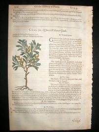Gerards Herbal 1633 Hand Col Botanical Print. Sweet Willow, Dutch Myrtle